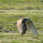 090916 Hawk on the hunt 171e2