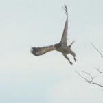 110320 Hawk take off 002e